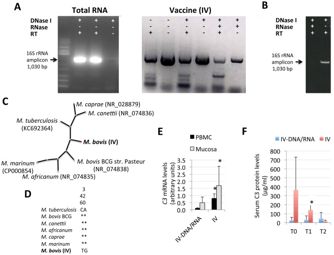 Mycobacterial DNA and RNA in the IV increase C3 expression levels. (A) Total RNA (4 µg) extracted from the IV or IV (2 µl) were subjected to different treatments and analyzed by agarose gel electrophoresis after RT-PCR for the amplification of Mycobacterium spp. 16S rRNA. (B) Total RNA extracted from the IV was treated with DNase I and/or RNase and used for cDNA synthesis using random primers 16S rRNA PCR. (C) Radial un-rooted tree of the 16S rRNA phylogenetic analysis using Neighbor Joining. Mycobacterium species and sequence Genbank accession numbers are shown. (D) Alignment of 16S rRNA sequences from the same mycobacteria used in the phylogenetic analysis to show characteristic single nucleotide polymorphisms in the vaccination isolate ( M. bovis (IV)). (E) C3 mRNA levels in the oral mucosa and PBMC at T2. (F) Serum C3 protein levels in pigs vaccinated with the IV and IV-DNA/RNA determined by ELISA at T0, T1 and T2. The mRNA levels were normalized against S. scrofa cyclophilin, β-actin and GAPHD. Normalized Ct values and protein levels (µg/ml) were represented as Ave+S.D. and compared between groups by Student's t-test with unequal variance (*P≤0.05).