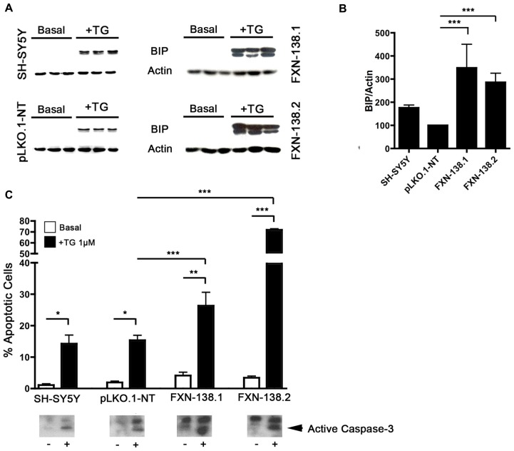 FXN depletion results in increased endoplasmic reticulum (ER) stress. (A) Western blot analysis of ER stress marker BIP in control and FXN-deficient cells in three independent samples. (B) Normalized intensities expressed as a percentage of the BIP intensity shown in (A) . Actin was used as a loading control. The columns and bar show the mean and standard deviation. Student's t -test, FXN-138.1 p = 0.008, FXN-138.2 p = 0.023 versus pLKO.1-NT. (C) Quantification of apoptotic cells by flow cytometry. Untreated cells (white bars) and cells treated with thapsigargin (TG, black) were fixed and stained with propidium iodine. The subG1 population was quantified at least in three independent experiments. Bars show mean ± standard deviation. Student's t -test was applied for statistics. Every cell types were compared between basal condition and with TG: SH-SY5Y p = 0.16, pLKO.1-NT p = 0.042, FXN-138.1 p = 0.032, FXN-138.2 p = 0.001. Comparison after TG treatment between pLKO.1-NT and FXN-138.1 p = 0.050, and FXN-138.2 p = 0.00004. The activation of caspase-3 was tested by western blot (lower panel) using specific antibody in resting conditions (-) and TG-treated cells (+). * p ≤ 0.05; ** p ≤ 0.01; *** p ≤ 0.001.