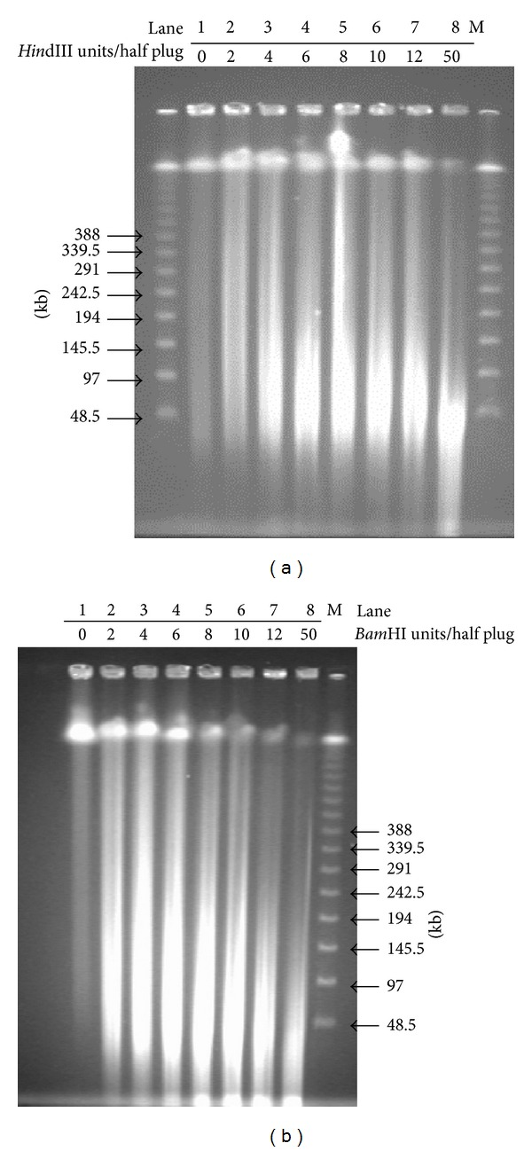 Partial digestion of DNA in half plugs. Lanes 1–8 contain DNA samples digested with restriction enzyme at the increasingly higher concentrations. (a) Partial digestions of half DNA plugs with serial dilutions of Hin dIII at 37°C for 30 min. (b) Partial digestions of half DNA plugs with serial dilutions of Bam HI at 37°C for 30 min. Plug pieces were separated on 1% agarose gel in 0.5x TBE and run in the CHEF DR-III System (Bio-Rad) at 6 V/cm, 1–50 s switch time, linear ramp, 120° angle at 14°C for 18 h. M: the λ PFG marker.