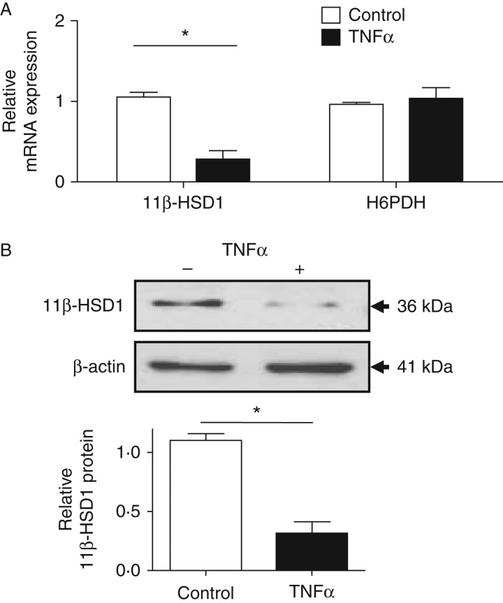TNFα suppresses 11β-HSD1 mRNA and protein expression. (A) Real-time PCR analysis of 11β-HSD1 and H6PDH mRNA in C2C12 myotubes treated for 24 h with TNFα. (B) Western immunoblot analysis of p65 and β-actin from C2C12 myotubes treated for 24 h with TNFα compared to control. Densitometry of the western immunoblots were carried out using ImageJ (* P