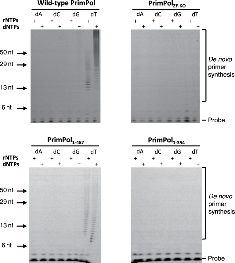Primase activity of human PrimPol. ( A ) Human PrimPol has primase activity and can produce de novo primers using <t>rNTPs</t> and <t>dNTPs</t> opposite a poly(dT) template. ( B ) PrimPol ZF-KO lacks de novo primer synthesis activity, suggesting that an intact zinc finger is required for primase activity. ( C ) PrimPol 1–487 also has primase activity similar to the wild-type PrimPol. The unstructured region that is downstream of the zinc finger is therefore not required for primase activity. ( D ) PrimPol 1–354 has no primase activity, which indicates that PrimPol requires a functional zinc finger for primer synthesis.