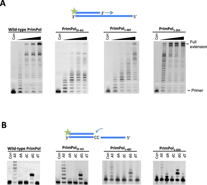 Polymerase activity and fidelity of human PrimPol. ( A ) Human PrimPol was incubated with dNTPs and substrate at 1, 3, 5 and 30 min time points. PrimPol was proficient at extending an undamaged oligonucleotide template using dNTPs. Human PrimPol did not require an intact zinc finger in order to carry out primer extension, as evidenced by the extension of primers by PrimPol ZF-KO and PrimPol 1–354 . PrimPol 1–487 that lacked the unstructured C-terminus of the protein was also polymerase proficient. PrimPol 1–354 exhibited a higher rate of polymerase activity compared to the other constructs. ( B ) Incorporation of nucleotides opposite two templating cytosine bases. PrimPol was incubated for 5 min with the DNA substrate and each of the dNTPs. All four of these PrimPol constructs inserted two guanine nucleotides opposite two cytosines in Watson–Crick base-pairing manner. PrimPol 1–354 could additionally incorporate a single adenine opposite the first cytosine.