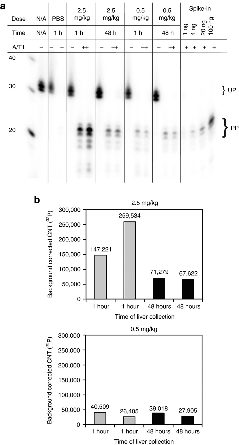 Liver uptake of LNP-SG220 in CD1 mice. ( a ) Denaturing 10% PAGE analysis of RNase protection assay to monitor SG220 present in livers of CD1 mice at the indicated doses and time points. A mouse injected with PBS only was used as a control (PBS). Bands corresponding to undigested probe and probe protected after RNase A/T1 digestion are labeled. For quantification, the amounts of SG220 indicated in the last four lanes were spiked into 50 µg of total liver RNA from untreated mice to generate a calibration curve for the quantification of the liver uptake of SG220. PP, protected probe; UP, undigested full-length probe. ( b ) Plots of background corrected counts ( 32 P) for individual mice for dosing groups 0.5 and 2.5 mg/kg. LNP, lipid nanoparticles.