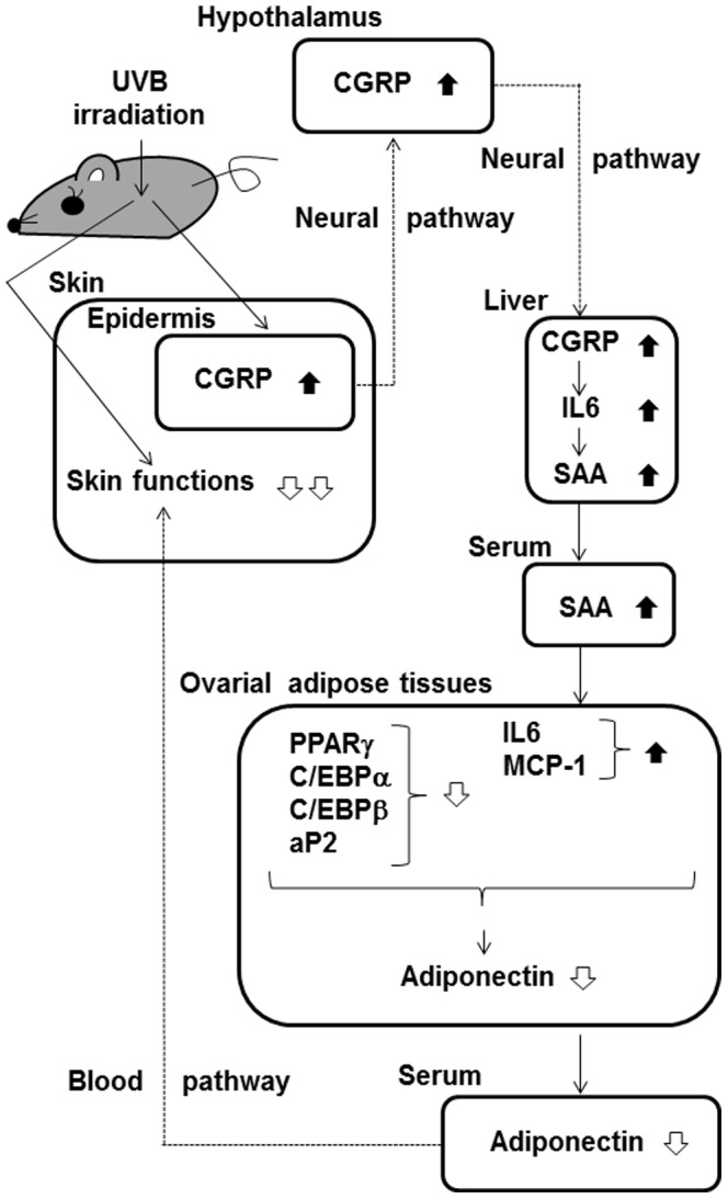 Putative mechanisms for the UVB-induced decrease in adiponectin expression in ovarial adipose tissues. The <t>CGRP</t> signal induced by exposure of the skin to UVB can transfer to the brain and then to the liver, possibly via a neural pathway. Increased CGRP in the liver induces the expression and secretion of SAA via the action of IL-6. In an endocrine manner, SAA in the serum downregulates PPARγ, C/EBPα, C/EBPβ, and <t>aP2</t> mRNA levels and upregulates IL-6 and MCP-1 mRNA levels in the ovarial adipose tissues. The downregulation of adiponectin expression in the adipose tissues by these factors contributes to the decrease in serum adiponectin. Reduced levels of adiponectin in the serum may impair skin function (Yamane et al . 2010). Thus, the decrease in adiponectin induced by UVB irradiation can have adverse effects on skin function.