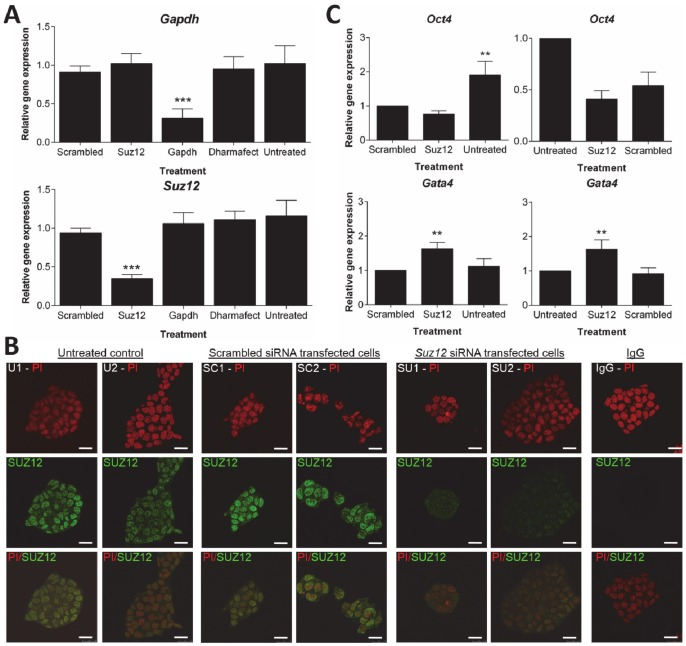 Analysis of siRNA-mediated knockdown of Suz12 in D3 cells after 144 h transfection. D3 cells were transfected with 100 Gapdh , Suz12 or non-targeting 'scrambled' siRNA using the DharmaFECT 1 transfection reagent in antibiotic-free ES cell medium. Untreated control cells were maintained in antibiotic-free ES cell medium only. The 'Dharmafect' control was cultured in transfection medium without siRNA. A ) qRT-PCR analysis was performed to test the expression status of Gapdh and Suz12 at 144 h transfection. The data is expressed as the average relative gene expression ± standard deviation in comparison to the scrambled siRNA. Quantified values were normalized against two housekeeping genes, Tbp and Actb. The results are the mean and standard deviation of three independent experiments. Statistically significant differences in gene expression levels are denoted by *** p