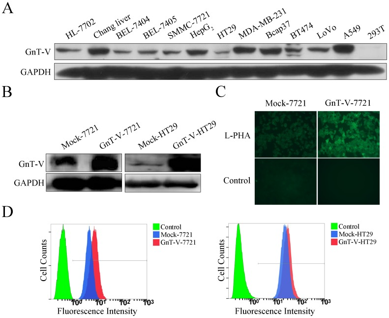 Overexpression of GnT-V causes aberrant N-glycosylation in the transfected cells. (A) The level of GnT-V protein was detected in different cell lines by immunoblot. (B) The GnT-V-7721 or GnT-V-HT29 stable cells were identified by detecting the level of GnT-V protein using immunoblot. (C) GnT-V-7721 and Mock-7721 cells were seeded on coverslips, followed by fixation and staining with biotinylated L-PHA and FITC-conjugated avidin, and then visualized under fluorescence microscopy. (D) Flow cytometry was performed with biotinylated L-PHA in GnT-V-7721 and GnT-V-HT29 stable cells, as well as Mock cells. FITC-conjugated <t>avidin</t> D staining was used as negative control.