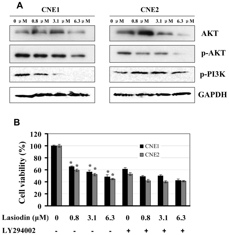 Inhibition of PI3K/AKT signaling by lasiodin. ( A ), CNE1 and CNE2 cells were treated with lasiodin at the indicated doses. After 24 hr treatment, the expressions of the phosphorylated or total protein of AKT and PI3K were detected by Western blotting. NPC cells treated with the vehicle control (DMSO) were used as the reference group. GAPDH was used as the control for sample loading. ( B ), CNE1 and CNE2 cells were treated with the AKT-selective inhibitor (LY294002, 5 µM) for 4 hr, and then treated with lasiodin at the indicated doses. After 48 hr treatment, cell viability was determined by the MTT assay. The figures are representative of three experiments. The data are presented as mean ± S.D. of three separate experiments. * P