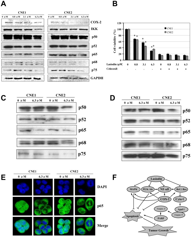 Suppression of COX-2 expression and NF-κB binding by lasiodin. ( A ), CNE1 and CNE2 cells were treated with lasiodin at the indicated doses. After 24 hr treatment, the expressions of COX-2, IKK and NF-κB were detected by Western blotting. NPC cells treated with the vehicle control (DMSO) were used as the reference group. GAPDH was used as the control for sample loading. ( B ), CNE1 and CNE2 cells were treated with the COX-2-selective inhibitor (celecoxib, 20 µM) for 4 hr, and then treated with lasiodin at the indicated doses. After 48 hr treatment, cell viability was determined by the MTT assay. ( C ), CNE1 and CNE2 cells were treated with lasiodin at 6.3 µM for 24 hr. The binding of the transactivators to the COX-2 promoter was analyzed by the <t>streptavidin-agrose</t> pulldown assay. NPC cells treated with the vehicle control (DMSO) were used as the reference group. ( D ), CNE1 and CNE2 cells were treated with lasiodin at the dose of 6.3 µM for 24 hr. The nuclear extracts were prepared, and NF-κB was detected by Western blotting. NPC cells treated with the vehicle control (DMSO) were used as the reference group. ( E ), CNE1 and CNE2 cells were treated with lasiodin at 6.3 µM for 24 hr. The NF-κB nuclear translocations in CNE1 and CNE2 cells were determined by immunofluorescence imaging analysis. NPC cells treated with the vehicle control (DMSO) were used as the reference group. ( F ), The proposed mechanisms were shown. The figures are representative of three experiments. The data are presented as mean ± S.D. of three separate experiments. * P