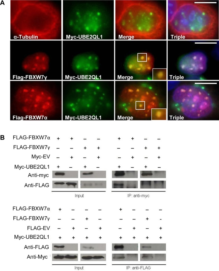 UBE2QL1 colocalizes and immunoprecipitates with FBXW7. A: HeLa cells were transfected with either myc-UBE2QL1 alone and stained with antibodies against α-tubulin (red) and myc (green), which showed a nuclear localization of UBE2QL1 (upper panel). When cotransfected with myc-UBE2QL1 and either FBXW7 γ (middle panel) or FBXW7α (lower panel) and stained with antibodies against FBXW7α or FBXW7γ (red) and myc (green) there was nuclear colocalization of UBE2QL1 with FBXW7α and FBXW7γ. Triple refers to DAPI nuclear staining (blue) and the merged images together. B: HEK-293 cells were transfected with either myc tagged to an empty vector (myc-EV) or myc-UBE2QL1 and FLAG-FBXW7 as indicated. Immunoprecipitation (IP) of myc-UBE2QL1 (upper panel) followed by immunoblot (IB) analysis with antibody against the FLAG tag identified FBXW7α and FBXW7γ as UBE2QL1 interacting proteins. The reciprocal experiment whereby IP of FLAG-FBXW7α and FLAG-FBXW7γ (lower panel) followed by IB analysis with antibody against the myc tag also identified FBXW7α and FBXW7γ as UBE2QL1 interacting proteins. Input levels of FBXW7α, FBXW7γ, and UBE2QL1 in the cell lysate are indicated.