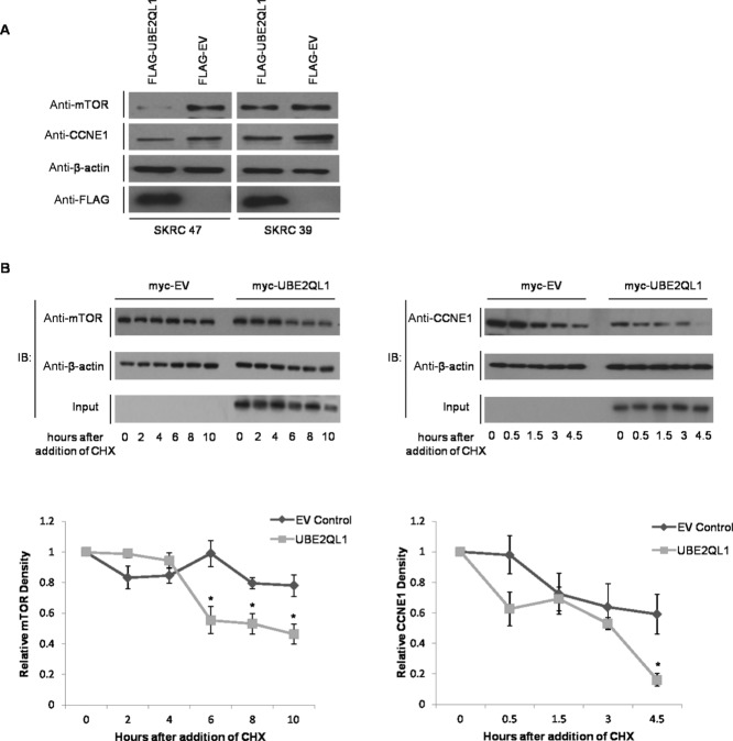 UBE2QL1 facilitates the degradation of FBXW7 targets mTOR and CCNE1. A: 10 μg of protein lysate extracted from SKRC 47 and SKRC 39 stable clones expressing pFLAG-CMV-4- wt UBE2QL1 (FLAG-UBE2QL1) and pFLAG-CMV-4 (FLAG-EV) were immunoblotted with antibodies against both mTOR and CCNE1 and demonstrated a reduction in their expression in UBE2QL1 expressing cells as compared with the EV control. Immunoblot controls for anti-ß-actin and anti-FLAG are also shown. B: HeLa cells were transfected with either myc tagged to an empty vector (myc-EV) or myc-UBE2QL1 as indicated. Twenty-four hours post transfection, cells were treated with 100 μg/ml cyclohexamide (CHX) and collected at the indicated times afterward. Upper panels, immunoblot analysis using antibodies against endogenous mTOR (left) and CCNE1 (right) indicated a reduction in protein levels compared with that of the housekeeping protein, β-actin. Input level of UBE2QL1 in the cell lysate is shown. Lower panels, relative densities of mTOR (left) and CCNE1 (right) to β-actin by densitometry, normalized to time point zero (unpaired t -test, error bars = SEM, n = 3, * P