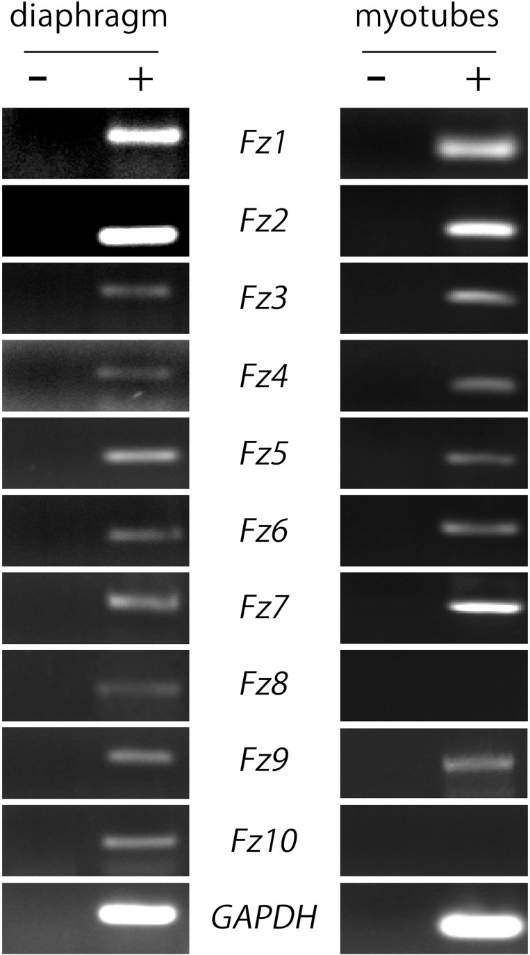 Most Fzd receptors are expressed in skeletal muscle cells . Total RNAs were extracted from 6-week old mouse diaphragm and cultured myotubes and further subjected to RT-PCR to detect the mRNA expression of all ten mouse Fzd receptors (+). As a negative control, samples were processed in the absence of reverse transcriptase (−). Fzd receptors 1 to 10 are expressed in the mouse diaphragm ( left panel ). In cultured C2C12 myotubes, almost all Fzd receptors are expressed at the mRNA level, except for Fzd8 and Fzd10, which were not amplified by RT-PCR ( right panel ). GAPDH expression was used as a loading control gene. Gels are representative of at least three experiments performed by triplicate.