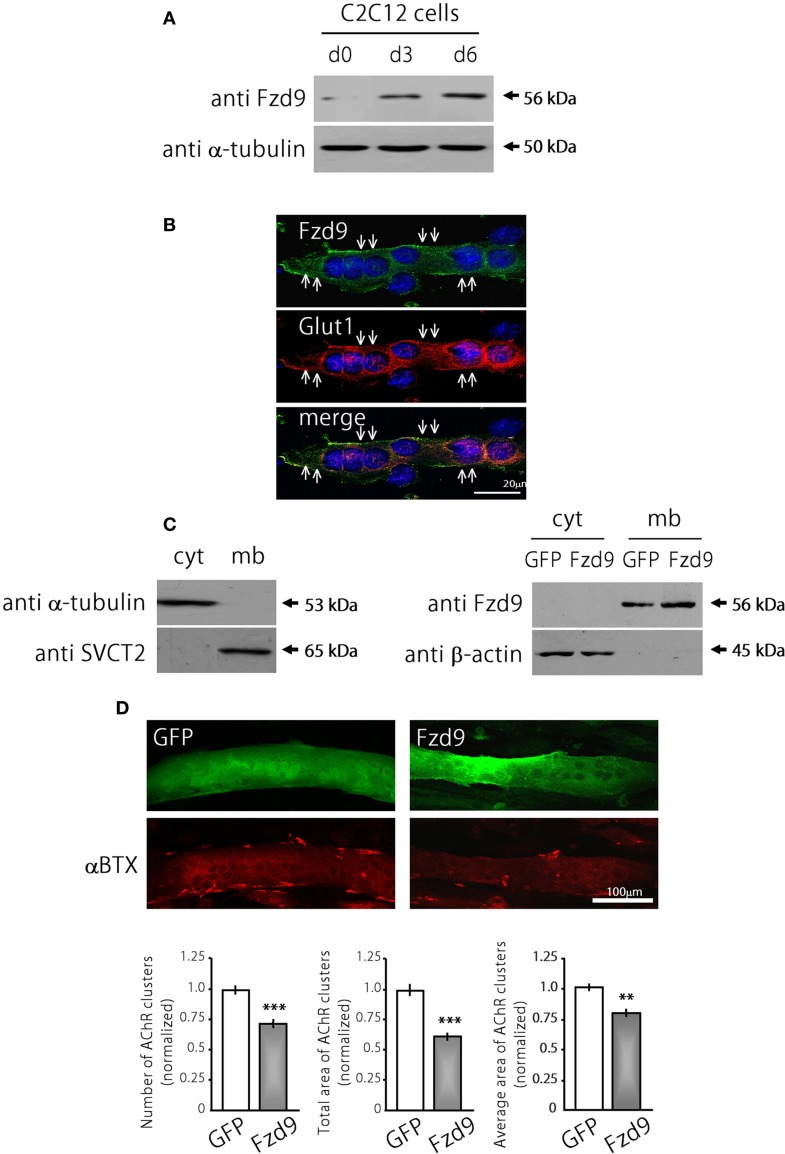 Fzd9 impairs agrin-dependent AChR clustering in myotubes. (A) Fzd9 is expressed in the muscle cell line C2C12 throughout differentiation. C2C12 cells were cultured in vitro and differentiated for 0, 3, or 6 days (d0-d6). Total proteins were subjected to Western blot analyses. An expected 56 kDa band is gradually increased during C2C12 cells differentiation. α-tubulin expression was used as a loading control. (B) C2C12 myotubes differentiated for 6 days were analyzed by immunocytochemistry to detect Fzd9. Fzd9 is localized to the plasma membrane of the myotubes (green, upper panel ), similar to Glut1, which was used as a marker of plasma membrane (red, middle panel ). The merge image ( lower panel ) reveals the co-localization of Fzd9 and Glut1. (C) Differentiated C2C12 myotubes were subjected to a sequential fractionation procedure to isolate samples enriched in cytoplasm (cyt) or plasma membrane (mb) proteins. Western blot analyzes showed that α-tubulin is specifically detected in cytoplasmic fractions, whereas the vitamin C transporter SVCT2 was only present in membrane-enriched protein fractions ( left panel ). C2C12 myoblasts were transfected either with GFP or Fzd9 and differentiated. Sequential protein lysates were analyzed by Western blot. Both endogenous Fzd9 (GFP-transfected cells) or overexpressed Fzd9 (Fzd9-transfected cells) were found predominantly in the plasma membrane and were absent in the cytoplasm. As a loading control, β-actin is found only in the cytoplasm-enriched fraction ( right panel ). (D) Myoblasts transfected with plasmids coding for GFP (control) or Fzd9 were differentiated into myotubes and subsequently incubated with 200 pM neural agrin. αBTX staining allows the visualization of the AChRs (red). Automatized quantification of aggregates shows that Fzd9 overexpression induces a decrease in the number of AChR clusters per myotube, as well as a reduction in the total area and average size of AChR clusters, compared to controls. Data represent the mean ± s.e.m. ( n = 3 performed by triplicate; normalized to GFP-transfected myotubes). ( ** p