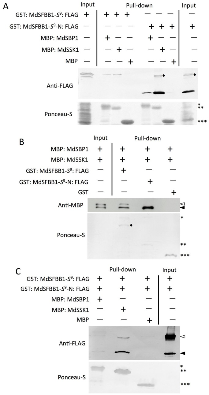 In vitro binding assays of MdSSK1 and MdSBP1 with MdSFBB1- S 9 and MdSFBB1- S 9 -N. (A) Interactions of MdSSK1 and MdSBP1 with MdSFBB1- S 9 and MdSFBB1- S 9 -N. MBP: MdSSK1, MBP: MdSBP1 and MBP (negative control) were reacted with amylose resin. These beads bound recombinant proteins were incubated with GST: MdSFBB1- S 9 : FLAG and GST: MdSFBB1- S 9 -N: FLAG. Eluted proteins were separated by SDS-PAGE and detected using an anti-FLAG antibody (top). Protein loading was checked by Ponceau-S staining of the blot before immunoblotting (bottom). Single, double and triple asterisks, indicate MBP: MdSBP1, MBP: MdSSK1 and MBP, respectively. Diamonds indicate non-specific signals. (B) Competitive pull-down assay of MdSFBB1- S 9 and MdSFBB1- S 9 -N with MdSSK1 and MdSBP1. GST: MdSFBB1- S 9 : FLAG, GST: MdSFBB1- S 9 -N: FLAG and GST (negative control) were reacted with Glutathione Sepharose 4B. These sepharose bound recombinant proteins were incubated with an equal amount protein mixture of MBP: MdSSK1 (15 µg) and MBP: MdSBP1 (15 µg). Eluted proteins were separated by SDS-PAGE and detected using an anti-MBP antibody (top). Protein loading was checked by Ponceau-S staining of the blot before immunoblotting (bottom). Single, double and triple asterisks, indicate GST: MdSFBB1- S 9 : FLAG, GST: MdSFBB1- S 9 -N: FLAG and GST, respectively. Opened and closed arrows indicate MBP: MdSBP1 and MBP: MdSSK1, respectively. Diamonds indicate the probable truncated GST: MdSFBB1- S 9 : FLAG. (C) Competitive pull-down assay of MdSSK1 and MdSBP1 with MdSFBB1- S 9 and MdSFBB1- S 9 -N. MBP: MdSSK1, MBP: MdSBP1 and MBP (negative control) were reacted with amylose resin. These beads bound recombinant proteins were incubated with a protein mixture of approximately equal molecular numbers of GST: MdSFBB1- S 9 : FLAG (74 kDa, 4.5 µg) and GST: MdSFBB1- S 9 -N: FLAG (35 kDa, 2.1 µg). Eluted proteins were separated by SDS-PAGE and detected using an anti-FLAG antibody (top). Protein loading was checked by