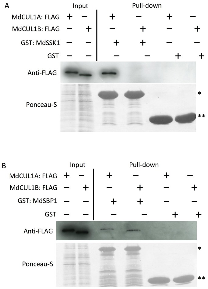 In vitro binding assays of MdSSK1 and MdSBP1 with MdCUL1s. The interactions of MdCUL1s with MdSSK1 (A) and MdSBP1 (B) were tested. GST: MdSSK1, GST: MdSBP1 and GST (negative control) were expressed in E. coli and reacted with Glutathione Sepharose 4B. These sepharose bound recombinant proteins were incubated with MdCUL1A: FLAG and MdCUL1B: FLAG expressed in a cell-free system. Eluted proteins were separated by SDS-PAGE and detected by using an anti-FLAG antibody (top). Protein loading was checked by Ponceau-S staining of the blot before immunoblotting (bottom). Single and double asterisks indicate the GST-fusion protein and GST, respectively.
