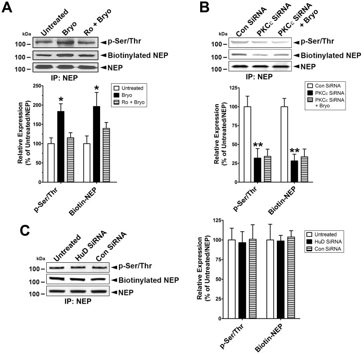 Activated PKCε increases phosphorylation and membrane localization of NEP. A , Cells were untreated or treated with bryostatin (Bryo, 0.5 nM) or pre-treated with Ro 32-0432 (Ro, 2 µM) for 30 min and then treated with Bryo for 1 hr, lysed, and then used for immunoprecipitation using NEP antibody. Immunocomplexes were further analyzed to detect phosphorylated and biotinylated NEP protein in immunoblot analyses after normalization for NEP protein level (Mean ± SEM, *P