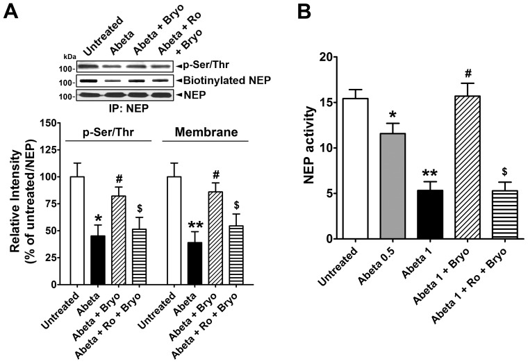 PKCε activation recovers NEP membrane localization inhibited by oligomeric Aβ peptides. A , Cells were untreated or treated with oligomeric Aβ (Abeta; 1 µM) or Abeta+bryostatin (Bryo, 1 nM), or pre-incubated with Ro 32-0432 (Ro, 2 µM) for 30 min before Abeta+Bryo treatment for 1 hr, and then used for biotin-labeling. Phosphorylated and biotinylated NEP proteins were detected by immunoblot from immunoprecipitated NEP protein and were compared (Mean ± SEM of the three independent experiments, *P
