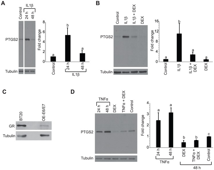 Increased PTGS2 levels in OE-E6/E7 cells by IL1β and TNFα treatment is blocked by DEX. A, Cells were treated with 50/ml IL1β for 24 h or 48 h and Western blot analysis was performed for PTSG2 and tubulin. B, Cells were treated with 10 nM DEX or vehicle 30 h prior to treatment with IL1β or vehicle and harvested 24 h later. Western blot analysis was performed for PTGS2 and tubulin. C, Western blot analysis was performed on OE-E6/E7 cells for glucocorticoid receptor and tubulin levels with BT20 breast cancer cells used as positive control. D, Cells were treated with DEX or vehicle 30 h prior to treatment with TNFα or vehicle. Cells treated with TNFα alone were harvested at 24 and 48 h after treatment and cells treated with DEX+TNFα were harvested at the 48 h time point. Western blot analysis was performed for PTGS2 and tubulin. Histograms summarize quantification of PTGS2 levels normalized to tubulin in 3 to 6 immunoblots. Bars represent the mean ± SEM relative to control. Bars with different letters are statistically different from one another as determined by ANOVA followed by a Student-Newman-Keuls post-hoc multiple comparison test ( p