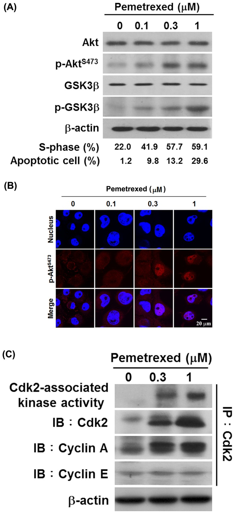 Activation of Akt and Cdk2 are occurred in pemetrexed-treated H1299 cells. (A) Pemetrexed stimulates Akt pathway activation. H1299 cells were treated with 0, 0.1, 0.3 and 1 µM pemetrexed for 48 h. After treatment, the levels of total Akt, phosphorylated Akt, total GSK3β, and phosphorylated GSK3β were examined by Western blot analysis. β-Actin was used as an internal loading control. The proportion of S-phase population and apoptotic cells were determined as described in the Materials and Methods section. (B) Nuclear accumulation of Akt occurred in pemetrexed-treated H1299 cells. Cells were treated with 0, 0.1, 0.3, and 1 µM pemetrexed for 48 h, the subcellular distribution of p-Akt S473 was detected by confocal microscopy after immunostaining with anti-phospho-Akt S473 . Hoechst 33342 was used to counterstain nuclei. (C) Pemetrexed activated Cdk2/Cyclin A-associated kinase in H1299cells. H1299 cells were treated with 0, 0.3, and 1 µM pemetrexed for 24 h, and then protein lysates were isolated. The Cdk2 kinase activity and the levels of Cdk2, Cyclin A and Cyclin E were determined.