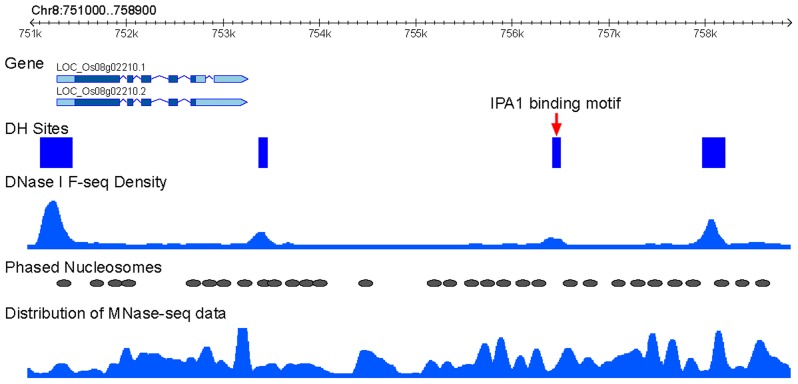 Association IPA1-binding sites with phased nucleosomes. An example of phased nucleosome arrays that flank an intergenic IPA1-binding site on rice chromosome 8. This binding site is overlapped with a DHS (red arrow). The distribution of MNase-seq data (dyad density calculated from paired-end reads by NucleR) and DNase-seq data (density calculated by F-seq) were used to present the nucleosome and DHS positions. Phased nucleosomes and DHS regions were also schematically marked.