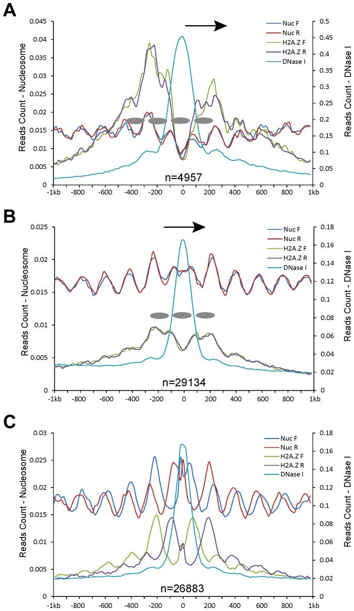 Patterns of nucleosome positioning around DHSs in the human genome. DHSs (data from CD4+ T cell line) were also divided into five different categories based on their genomic locations: (A) proximal promoters (within 200 bp upstream of a TSS); (B) within genes; and (C) intergenic regions. Y-axes show normalized MNase-seq reads (read number in per bp genome in per million reads). Zero on the x-axes indicates the most sensitive site of the aligned DHSs. Ellipses indicate phased nucleosomes with H2A.Z. Arrows in (A, B) indicate the direction of gene transcription.