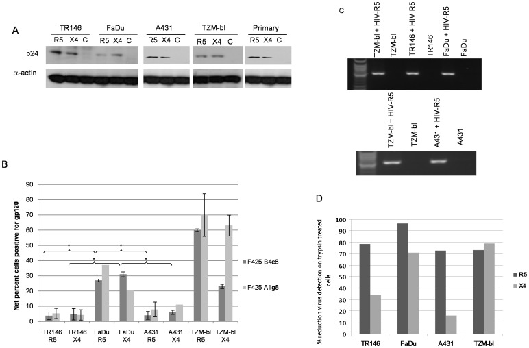 Different methods used to detect HIV-1 R5 and X4 binding to epithelial cells. (A) Post-lysis detection of p24 gag protein by Western blotting. Primary (gingival) epithelial cells, TR146, FaDu, A431 and TZM-bl cells were incubated overnight (16–24 h) with cell free YU2 (R5) or LAI (X4). After extensive washing to remove unbound virus, normalised total protein lysates were separated by SDS-PAGE and probed for HIV p24 using α-actin as a loading control. (B) Detection of immobilized virus on the cell surface by flow cytometry. Epithelial cells were incubated overnight with cell free virus. Bound virus was detected using a Cy5-labeled anti-human secondary antibody to detect HIV-1 gp120 primary monoclonal on the APC channel. Electronic gates were set around an unlabelled cell control, this area is then set as zero and any cells shifted to the right of the gate are deemed positive. To determine amount of virus bound, virally exposed, labelled cell percentages are subtracted from the uninfected (unexposed) labelled control cell percentages to obtain the % fluorescence values shown. Data are representative of four independent experiments and bars indicate ± standard deviation from the mean. (C) Detection of packaged HIV R5 RNA by amplification of the HIV-1 pol gene using nested PCR. Total RNA was extracted from TR146, FaDu, A431 and TZM-bl cells incubated overnight with cell free YU2 (R5) and used to produce viral cDNA. This was then used as a template in a nested PCR to detect a 2 Kb region of HIV pol. (D) Percentage reduction in detection of immobilized virus on the cell surface by flow cytometry after trypsin treatment. Virally exposed cells are compared with cells labelled with secondary antibody alone. Data set is representative of three independent experiments. * = P