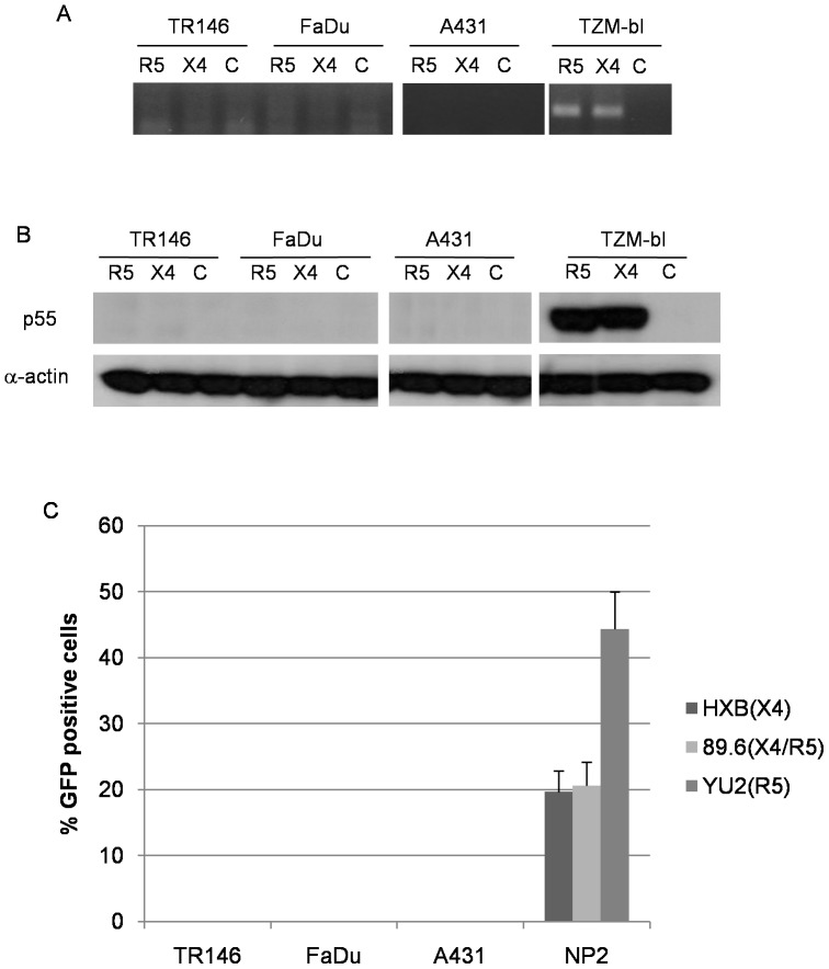 Post-integration HIV-1 mRNA transcription and de novo viral protein production in epithelial cells (MOI: 0.2). (A) Detection of spliced HIV-1 tat mRNA in TR146, FaDu, A431 and TZM-bl control cells by PCR 24 h post-infection with YU2 (R5) or LAI (X4) infectious virus. Equal amounts of total RNA was used to synthesise viral cDNA which was then subjected to PCR using primers designed to span the TAT 1 and 2 exon junctions. (B) p55 gag protein detection in TR146, FaDu, A431 and TZM-bl control cells by Western blot after 24 h infection with R5 (YU2) and LAI (X4) virus. (C) Infection of TR146, FaDu, A431 and NP2-R5/X4 control cells with GFP-linked single-cycle X4, R5 and dual tropic HIV-1 gp160 pseudotyped virus and detection of GFP incorporation into epithelial cell DNA by flow cytometry. Error bars show standard error from the mean. Data are representative of three independent experiments.