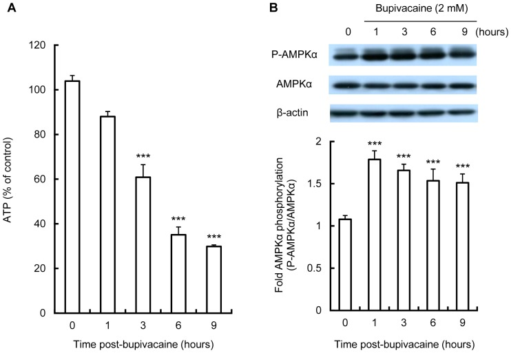 Effect of bupivacaine on intracellular ATP levels and AMPK activation. Neuro2a cells were treated with 2(A) Intracellular levels of ATP were measured with a luminescence assay (n = 4 per group). (B) Expression of phospho-AMPKα (P-AMPKα) and AMPK following cell exposure to bupivacaine was measured by Western blotting (n = 3 per group). *** P