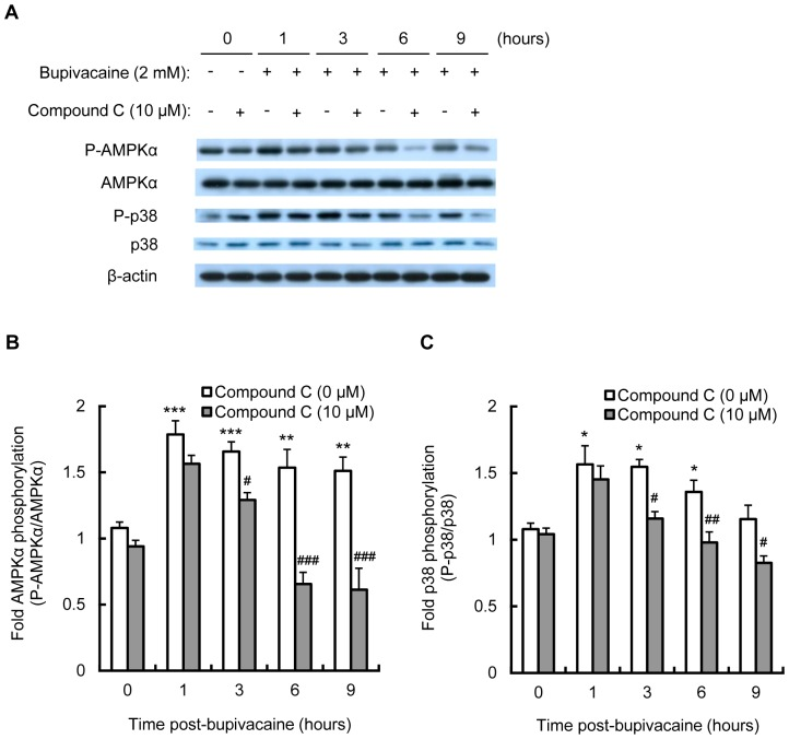 Effect of compound C on bupivacaine-induced AMPK and p38 MAPK activity. Neuro2a cells were treated with AMPK inhibitor compound C (10 µM) for 1 h, followed by bupivacaine (2 mM) for 9 h. (A) Expression of phospho-AMPKα (P-AMPKα), AMPK, phospho-p38 (P-p38) and p38 was measured by Western blotting (n = 3 per group). The bar diagram shows the ratio of phospho-AMPKα to AMPK (B) and the ratio of P-p38 to p38 (C). * P
