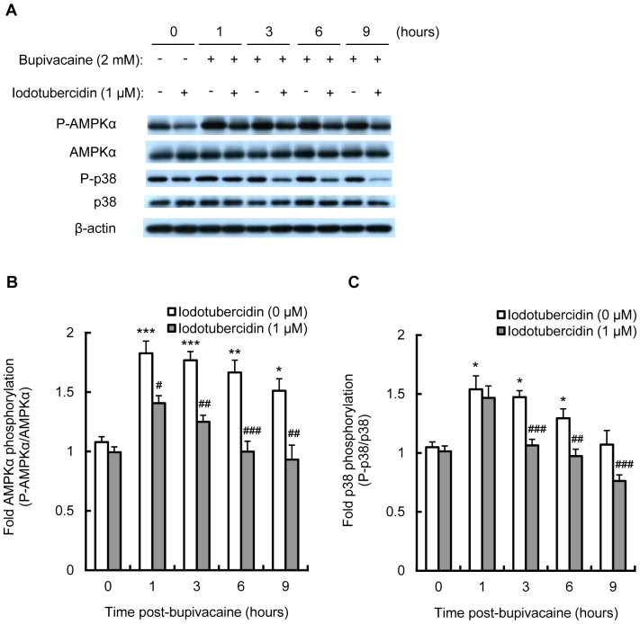 Effect of iodotubercidin on bupivacaine-induced AMPK and p38 MAPK activity. Neuro2a cells were treated with AMPK inhibitor iodotubercidin (1 µM) for 1 h, followed by bupivacaine (2 mM) for 9 h. (A) Expression of phospho-AMPKα (P-AMPKα), AMPK, phospho-p38 (P-p38) and p38 was measured by Western blotting (n = 3 per group). The bar diagram shows the ratio of phospho-AMPKα to AMPK (B) and the ratio of P-p38 to p38 (C). * P