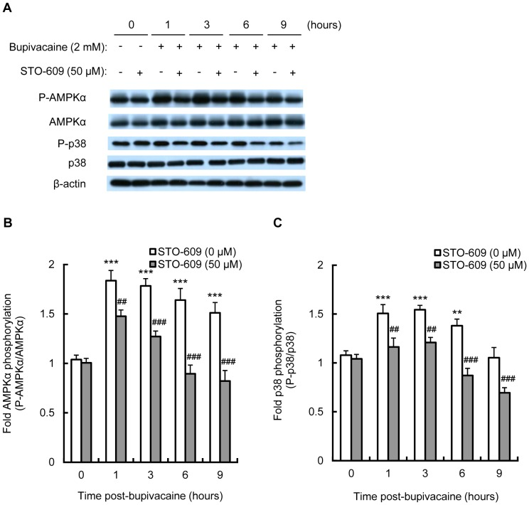 Effect of STO-609 on bupivacaine-induced AMPK and p38 MAPK activity. Neuro2a cells were treated with CaMKK inhibitor STO-609 (50 µM) for 1 h, followed by bupivacaine (2 mM) for 9 h. (A) Expression of phospho-AMPKα (P-AMPKα), AMPK, phospho-p38 (P-p38) and p38 was measured by Western blotting (n = 3 per group). The bar diagram shows the ratio of phospho-AMPKα to AMPK (B) and the ratio of P-p38 to p38 (C). ** P