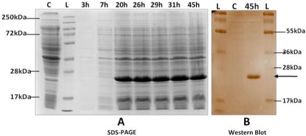 Expression of recombinant protein in ZYP-5052 medium. A) . Coomassie stained 12% SDS-PAGE of lysates shows proteins expressed in ZYP-5052 at 25°C at different incubation time. Equal culture densities (corresponding to 1 OD 600 cells) were analysed in each lane. Cells grown to saturation in PG, a non-inducing growth medium were loaded as control. Lane L: Protein marker; Lane C: Control; Lane 3 h-45 h: Induced samples at different incubation time, as indicated on top of each lane. B) . Western blot of expressed protein. Expressed protein was transferred to nitrocellulose membrane at 30 V overnight at 4°C. After blocking in 3% BSA, membrane was treated with mouse raised anti-His antibody (1 : 500) and <t>HRP-conjugated</t> anti-mouse <t>IgG</t> antibody and developed with DAB. Bold arrow denotes distinct band in induced sample corresponding to expressed protein of 25 kDa size. Control used is culture grown to saturation in PG medium. No expression is seen in control. Lane L: Protein marker; Lane C: Control; Lane 45 h: Sample processed 45 hr post incubation at 25°C.