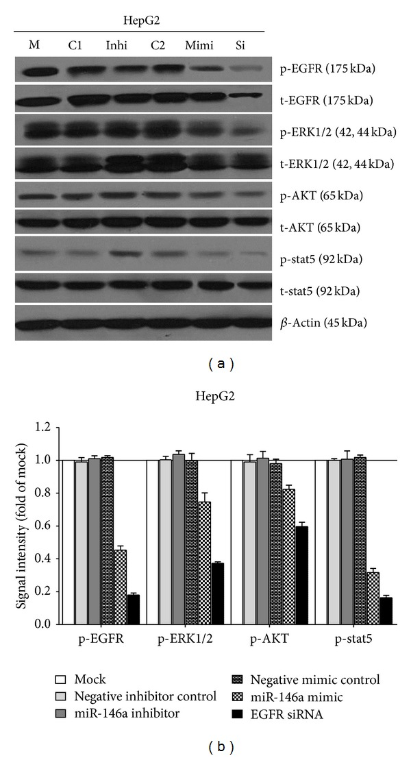 Effect of miR-146a on EGFR and its downstream pathway signals in HCC HepG2 cells. HepG2 cells (2.5 × 10 4 cells per well in 24-well plate) were cultured for 24 h then transfected with miR-146a inhibitor, miR-146a mimic, EGFR siRNA, and their negative controls (200 nM) up to another 96 h. Western blot and signal intensity of the bands were shown. Antibodies included phospho-EGFR (p-EGFR), total-EGFR (t-EGFR), p-ERK1/2, t-ERK1/2, p-AKT, t-AKT, p-stat5, t-stat5, and β -Actin. M: mock control; C1: negative control for miRNA inhibitor; Inhi: miR-146a inhibitor; C2: negative control for miRNA mimic; Mimi: miR-146a mimic; Si: EGFR siRNA.