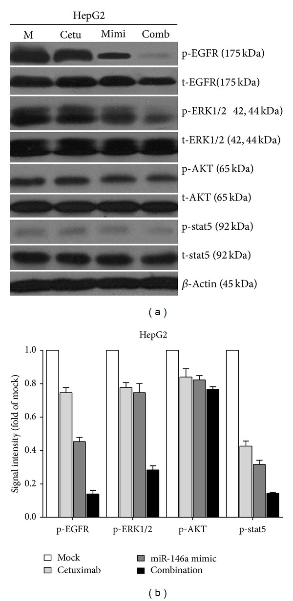 Effect of combining miR-146a mimic and cetuximab on EGFR and its downstream pathway signals in HCC HepG2 cells. HepG2 cells (2.5 × 10 4 cells per well in 24-well plate) were cultured for 24 h then transfected with miR-146a mimic and negative control (200 nM). Meanwhile, cetuximab was added and the cells were cultured up to another 96 h. Western blot and signal intensity of the bands were shown. Antibodies included phospho-EGFR (p-EGFR), total-EGFR (t-EGFR), p-ERK1/2, t-ERK1/2, p-AKT, t-AKT, p-stat5, t-stat5, and β -Actin. M: mock control; Cetu: cetuximab; Mimi: miR-146a mimic; comb: combination of cetuximab and miR-146a mimic.