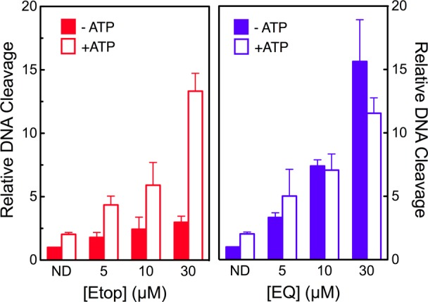 Etoposide quinone does not require ATP to induce optimal DNA cleavage mediated by topoisomerase IIβ. DNA cleavage reactions of etoposide (left panel, Etop, red) or etoposide quinone (right panel, EQ, blue) were carried out in the absence (closed bars) or presence (open bars) of 0.25 mM ATP. Control reactions conducted in the absence of drug are shown (ND). Error bars represent the standard deviation of three independent experiments.