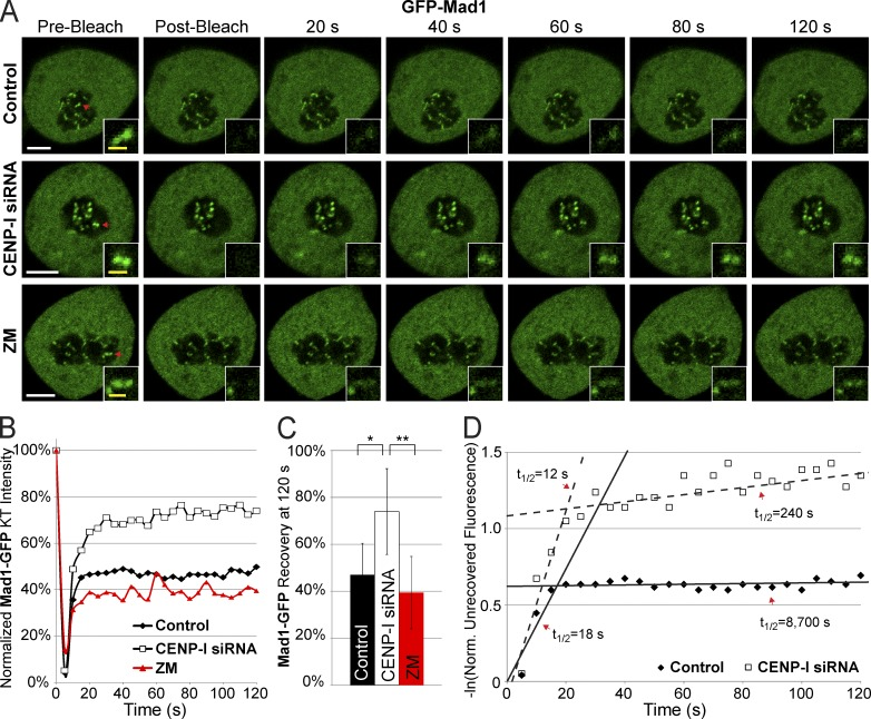 CENP-I increases the half-life of Mad1 at unattached kinetochores. (A) Images of Mad1-GFP FRAP in control, CENP-I–depleted, and ZM-treated cells arrested in <t>nocodazole.</t> (B) Recovery dynamics of Mad1-GFP after photobleaching demonstrating that CENP-I–depleted cells have a larger initial recovery of Mad1 and a faster turnover of stable Mad1. (C) Total recovery of Mad1-GFP at 120 s after photobleaching. (D) Scatter plot displaying the natural log of the normalized unrecovered fluorescence over time. The biphasic nature of Mad1 recovery is illustrated by overlaid lines. CENP-I–depleted cells have a fast phase of initial Mad1 recovery similar to controls but the pool of stable Mad1 in CENP-I–depleted cells has a greatly decreased half-life relative to control. Red arrows in A indicate FRAP targets. FRAP data are from n = 30 experiments. Error bars indicate standard deviation. *, P