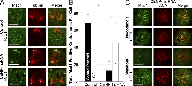CENP-I–depleted kinetochores fail to inhibit dynein-mediated stripping of Mad1. (A) Immunofluorescence images of Mad1 in control and CENP-I–depleted cells 10 min after nocodazole washout, with or without expression of the dynein inhibitor CC1. Control cells retain Mad1 at kinetochores after nocodazole washout, but CENP-I–depleted cells rapidly lose Mad1 from kinetochores and accumulate it at spindle poles in a dynein-dependent manner. (B) Quantification of the total number of Mad1-positive kinetochores in cells from conditions depicted in A. (C) Immunofluorescence images of CENP-I–depleted cells demonstrating that inhibition of dynein does not prevent recruitment of Mad1 to unattached kinetochores, but does prevent loss of Mad1 from kinetochores after nocodazole washout. Centromeres are labeled to demonstrate that Mad1 is at kinetochores. Blue arrows indicate position of spindle poles. Cy5-labeled anti-Mad1 antibody is displayed here in green for ease of viewing. Error bars indicate standard deviation. *, P