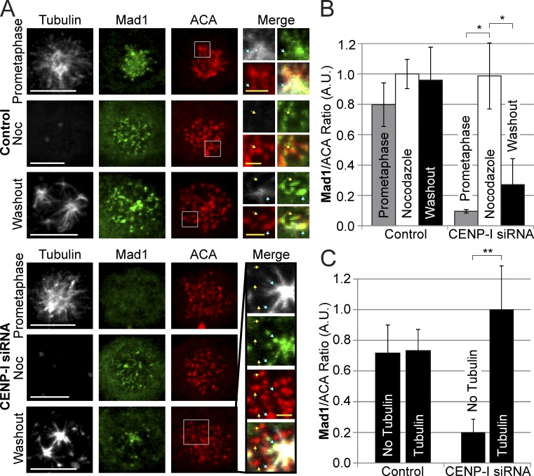 Microtubules trigger Mad1 recruitment to individual kinetochores in CENP-I–depleted cells. (A) Control-depleted cells localize Mad1 to kinetochores in prometaphase, during nocodazole treatment, and 10 min after nocodazole washout. CENP-I–depleted cells have no Mad1 at kinetochores in prometaphase but can fully recruit Mad1 to kinetochores in nocodazole. After nocodazole washout, Mad1 is specifically recruited to kinetochores that overlap with microtubules and is absent from kinetochores without microtubules. (B) Quantification of Mad1 kinetochore intensities from A showing that CENP-I–depleted cells fully recruit Mad1 to unattached kinetochores in nocodazole but lose most Mad1 from kinetochores after nocodazole washout. (C) Quantification of Mad1 intensities at kinetochores with or without microtubules after nocodazole washout. Control cells have equal amounts of Mad1 at kinetochores with or without microtubules, whereas CENP-I–depleted cells have fivefold more Mad1 at kinetochores with microtubules. Yellow arrows indicate select examples of kinetochores without microtubules. Blue arrows indicate select examples of kinetochores with associated microtubules. Insets contain multiple Z-sections for clarity. Error bars indicate standard deviation. *, P