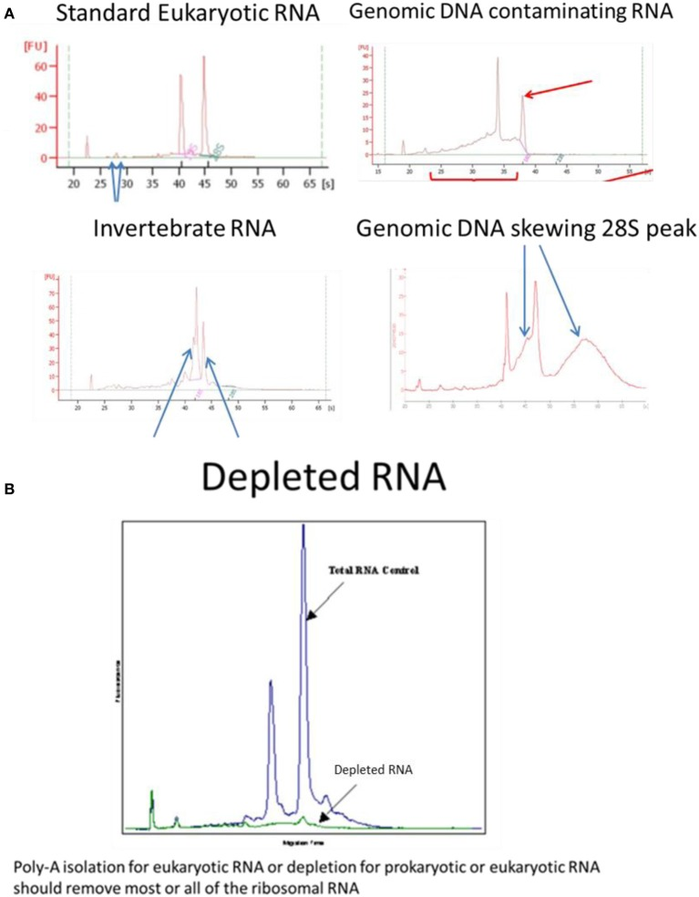 Examples of Bioanalyser assay interpretation for a variety of RNAs. (A) Standard Eukaryotic RNA shows a 28S rRNA band at 4.5 kb that should be twice the intensity of the 18S rRNA band at 1.9 kb (human) resulting in a RIN = 8.0–10.0. Small peaks are sometimes present after the marker that represent 5S and 5.8S subunits, tRNAs and small RNA fragments about 100 bp; these are more obvious when using phenol or trizol exterection methods, QIagen columns will generally remove small RNAs. When degraded 28S RNA is reduced and more fragments are detected around the 18S RNA subunit resulting in RIN = 6.4, which is below the quality required for high throughput DNA sequencing. Invertebrate RNA results in fragmentation of the 28S rRNA into two bands that co-migrate with the 18S rRNA resulting in aberrant RIN score of