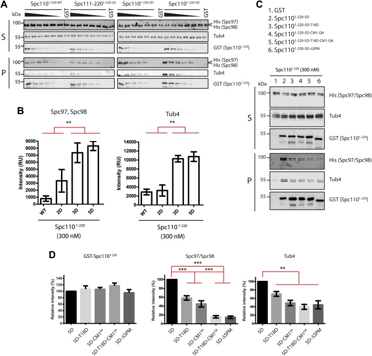 Phosphorylation of N-Spc110 regulates the affinity to γ-TuSC. ( A ) GST pull-down assays were performed between γ-TuSC (containing His-tagged Spc97-6His and Spc98-6His) and the GST-tagged Spc110 1–220 proteins. The bound proteins were eluted with sample buffer and separated on SDS-PAGE and analyzed by immunoblotting with anti-His, anti-GST, and anti-Tub4 antibodies. Infrared-dye-labelled secondary antibodies were applied and detected with Li-cor imaging system. ( B ) Quantification for bound Spc97, Spc98, and Tub4 from ( A ) at 300 nM Spc110 1–220 . ** marks statistical significance at p