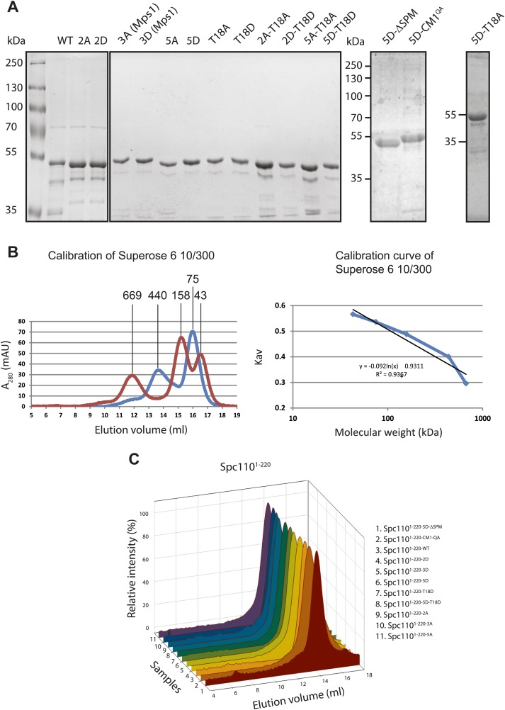 Purification of Spc110 1–200 variants. ( A ) Purified GST-Spc110 1–220 variants. ∼1 μg of protein was loaded to each lane. The SDS-PAGE was stained with Coomassie Blue. ( B ) Calibration of Superose 6 10/300 gel filtration column. Following protein markers were used: thyroglobulin (667 kDa), ferritin (440 kDa), aldolase (158 kDa), conalbumin (75 kDa), ovalbumin (44 kDa). Partition coefficient (K av ) was calculated using the equation: (V e –V 0 )/(V c –V 0 ), where V 0 = column void volume, V e = elution volume, and V c = geometric column volume. The calibration curve (bottom) of K av vs log molecular weight was plotted in semi-logarithmic scale. ( C ) Gel filtration chromatograms of purified GST-Spc110 1–220 variants. Proteins were analyzed in TB150 buffer by Superose 6 10/300 chromatography. DOI: http://dx.doi.org/10.7554/eLife.02208.007