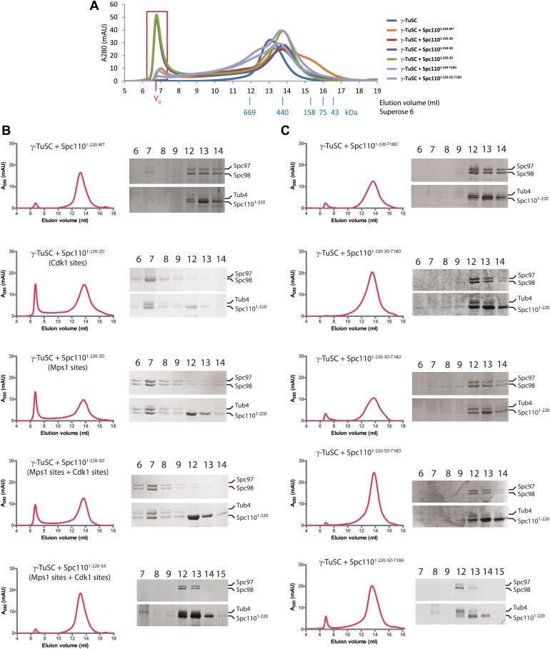 Phosphomimetic but not SPM defective N-Spc110 proteins induce oligomerization of γ-TuSC. ( A ) Overlapped gel filtration chromatograms with molecular weight markers. The peak of the void-volume (V 0 , boxed area) corresponds to molecular weight fractions higher than 5000 kDa. Note that the concentrations of γ-TuSC and Spc110 1–220 variants in ( A ) were double as high compared to ( B ) and ( C ). ( B ) Gel filtration chromatograms of γ-TuSC incubated with phosphomimetic or non-phosphorylatable Spc110 1–220 mutant proteins. γ-TuSC was incubated in TB150 buffer with Spc110 1–220 proteins from Figure 2—figure supplement 1A . Complexes were analyzed by Superose 6 10/300 chromatography. Fractions corresponding to the peak were analyzed by <t>SDS-PAGE</t> and silver staining. ( C ) As ( B ) but with Spc110 1–220 variants that have defective SPM due to T18D or T18A. DOI: http://dx.doi.org/10.7554/eLife.02208.008