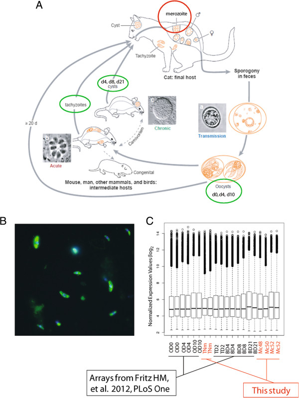 Life cycle of Toxoplasma gondii , and the harvest and hybridization of merozoite mRNA. (A) Life cycle of Toxoplasma gondii [ 58 ]. Green circle highlights stages for which microarray expression data exists [ 27 ]. Red circle highlights merozoite stage harvested for this study. (B) We obtained intestines from three cats (c48, c50, c52) that had been orally infected 5–6 days previously with the type II parasite TgNmBr1strain in order to isolate merozoite stage parasites. To determine that the purified forms were indeed Toxoplasma, a portion of sample c52 was labeled with mouse α-Me49 (Alexa Fluor 488, yellow). DAPI stained nuclei (blue). (C) mRNAs for two merozoite c52 (Mc52) samples and one for each of the c48 (Mc48) and c50 (Mc50) samples were labeled using the Ambion MessageAmp kit and hybridized to Affymetrix Toxoplasma GeneChips. In order to control for possible strain specific expression we also hybridized two TgNmBr1 tachyzoite mRNA samples (TNm). Data were analyzed in combination with the recently published dataset covering oocyst (Day 0 (OD0), 4 (OD4), 10 (OD10)) to tachyzoite (TD2) to bradyzoite (Day 4 (BD4), 8 (BD8), 21 (BD21)) development in the type II M4 strain [ 27 ]. Boxplots of the RMA normalized data show similar distributions and median values across the samples.