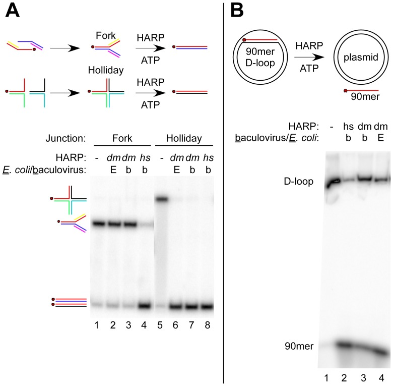 The branch migration activities of dm HARP and hs HARP differ. ( A ) dm HARP is competent for catalyzing Holliday junction migration but not replication fork regression. The reaction scheme is shown above the figure along with whether dm HARP was expressed in E. coli [E] or baculovirus-infected insect cells [b]. The gel migration of the replication fork and Holliday junction substrates is shown at the left along with the dsDNA products. The red dot signifies the common 5′- 32 P-labeled oligo (A60; Material and Methods ). Lanes dealing with an unrelated helicase were removed between lanes 4 and 5. ( B ) dm HARP is competent in disrupting D-loops. D-loops were formed with a supercoiled plasmid and a labeled 90mer DNA oligonucleotide, chromatographically purified and incubated with dm HARP or hs HARP expressed in E. coli or baculovirus-infected cells as indicated above the gel image. The D-loop and 90mer are identified at the left.