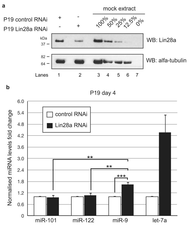 Lin28a regulates miR-9 levels differentiating P19 cells ( a ) Western blot analysis of protein extracts from mock-depleted P19 cells (Lane 1) and Lin28a-depleted P19 cells (Lane 2). Lanes 3 through 7 show serial dilutions of total protein extracts from mock-depleted P19 cells, providing an estimation of the linearity of the Western blot assay and the limit of detection. ( b ) Real-time qRT-PCR analysis of the mature miR-101, miR-122, miR-9 and let-7a levels on day 4 (d4) of RA-induced neuronal differentiation. The results from the mock-depleted cells are shown as white bars; the results from Lin28a-depleted cells are shown as black bars. The values were normalized to the miR-16 level. The fold change was plotted relative to values derived from mock-depleted cells, which were set to 1. Mean values and standard deviations (SD) of three independent biological replicates are shown. Statistical significance was calculated using t -test (**) −P ≤ 0.01, (***) −P ≤ 0.001.