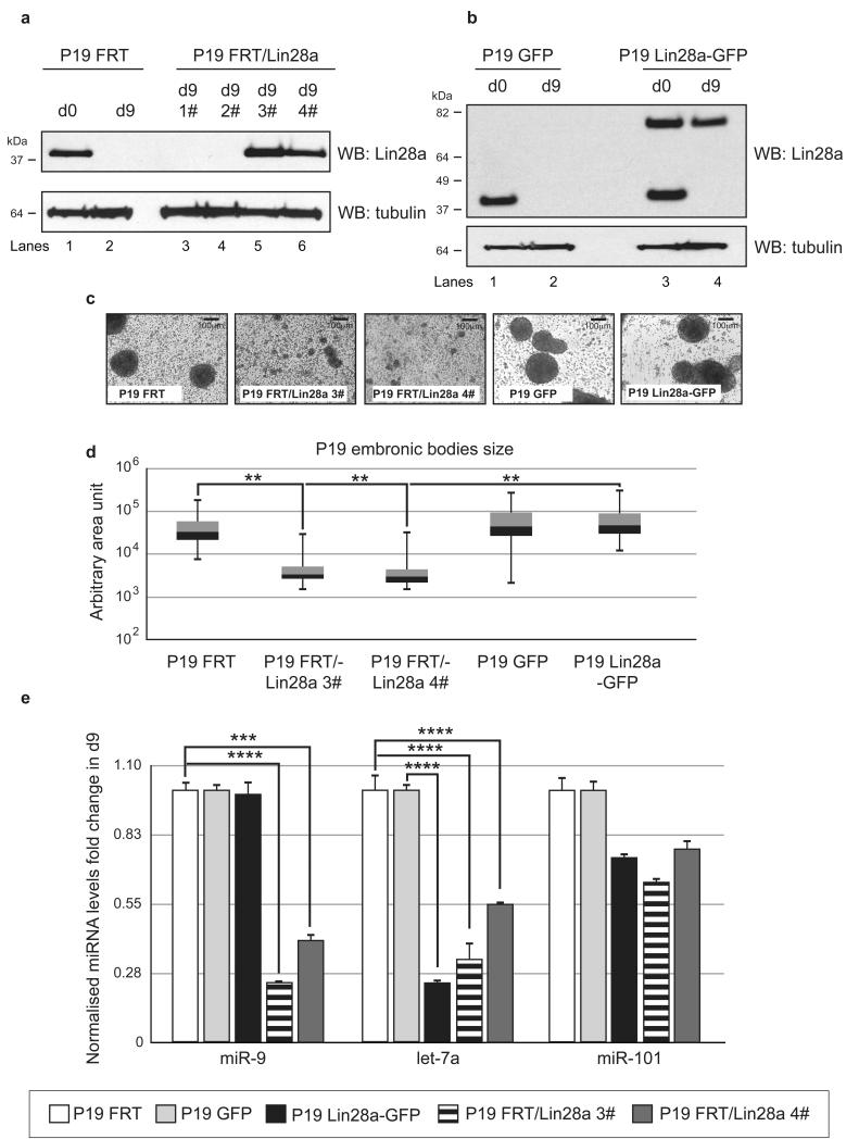 Constitutive expression of untagged but not GFP-tagged Lin28a affects miR-9 biogenesis during P19 cell differentiation ( a ) Western blot analysis of Lin28a levels in P19 stable cell lines expressing untagged human Lin28a. Lanes 1 and 2 include d0 and d9 P19 cells with an integrated FRT site, respectively. Lanes 3 and 4 show the P19 FRT/Lin28a clone, which does not express Lin28a at day 9. Lanes 5 and 6 include P19 FRT/Lin28a clones with stable Lin28a expression in differentiated cells. Tubulin served as a loading control. ( b ) Western blot analysis of the Lin28a levels in P19 stable cell lines expressing GFP-tagged human Lin28a. Lanes 1 and 2 are d0 and d9 P19 cells with integrated GFP, respectively. Lanes 3 and 4 are P19 Lin28a-GFP cell lines with stable expression of GFP-tagged human Lin28a in undifferentiated and differentiated cells, respectively. Tubulin served as a loading control. ( c ) Bright-field microscopy images showing representative images of P19 embryonic bodies at day 4 of differentiation. ( d ) Quantification of P19 embryonic bodies sizes at day 4 of differentiation represented as box plots. Statistical significance was calculated using the Mann-Whitney U -test (**) - P ≤ 0.01, (***) - P ≤ 0.001. ( e ) Real-time qRT-PCR analysis of mature miR-9, let-7a and miR-101 on day 9 of P19 FRT (white bars), P19 GFP (light grey bars), P19 GFP-Lin28a (black bars), P19 FRT/Lin28a 3# (horizontal lines bars) and P19 FRT/Lin28a 4# (dark grey bars). The values were normalized to miR-16 levels. The fold change was plotted relative to values derived from the corresponding control cell lines P19 FRT and P19 GFP, which were set to 1. Mean values and standard deviations (SD) of three independent biological replicates are shown. Statistical significance was calculated using t -test (***) −P ≤ 0.001, (****) - P ≤ 0.0001.