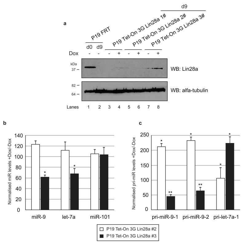 Lin28a induction in differentiated P19 cells results in reduction of miR-9 levels. ( a ) Western blot analysis of protein extracts from control P19 cells (Lane 1 – d0 and Lane 2 – d9) and d9 of three colonies of P19 Tet-On 3G Lin28a cells. Lanes 3, 5 and 7 represent results from the corresponding cell lines without Dox. Lanes 4, 6 and 8 show results from the corresponding cell lines induced with Dox (100ng/ml). ( b ) Real-time qRT-PCR analysis of mature miR-9, let-7a and miR-101 levels of Dox-induced cells after RA-mediated neuronal differentiation. The results from P19 Tet-On 3G Lin28a #2, which failed to induce Lin28a, is shown as white bars; the results from P19 Tet-On 3G Lin28a #3, which induced Lin28a, are shown as black bars. The values were normalized to miR-16 levels. The fold change was plotted relative to values derived from -Dox cells, which were set to 100. Mean values and standard deviations (SD) of three independent biological replicates are shown. Statistical significance was calculated using t -test (*) −P ≤ 0.05. ( c ) Real-time qRT-PCR analysis of the primary miR-9-1, miR-9-2 and let-7a-1 of Dox-induced cells after RA-mediated neuronal differentiation. The results from P19 Tet-On 3G Lin28a #2, which failed to induce Lin28a, is shown as white bars; the results from P19 Tet-On 3G Lin28a #3, which induced Lin28a, are shown as black bars. The values were normalized to cyclophilin A mRNA levels. Mean values and standard deviations (SD) of three independent experiments are shown (*) −P ≤ 0.05, (**) −P ≤ 0.01.