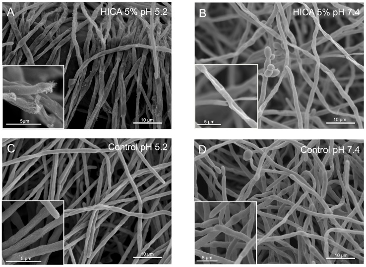 Microscopic examination of C. albicans biofilms exposed to HICA. SEM images were taken of biofilms which were grown for 24% HICA for another 24 h at pH 5.2 (A) or pH 7.4 (B). Control images were taken of biofilms grown in RPMI-medium without HICA at pH 5.2 (C) or pH 7.4 (D). Insets show hyphal structures in detail. Scale bars indicate 10 µm in main images and 5 µm in insets.