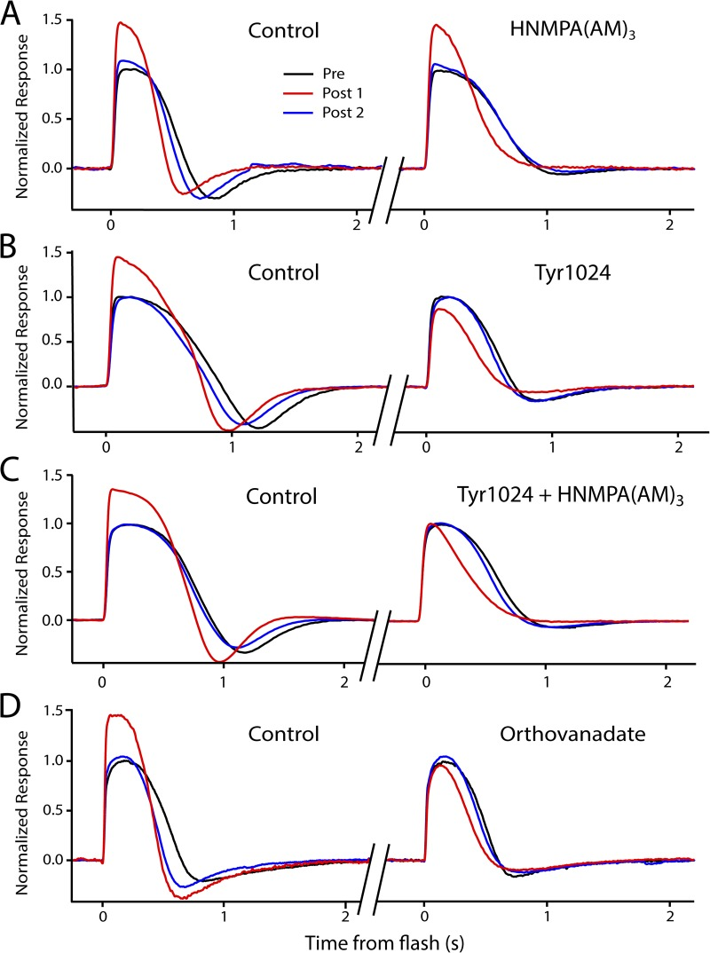 Kinase and <t>phosphatase</t> inhibitors influence light-induced potentiation in isolated retina recordings. All figures show a dark-adapted response (black trace, average of three to five responses), a response recorded 3–5 s after 3-min saturating light (red trace, single response), and a third response, recorded 20–30 s later, representing recovery (blue trace, single response). (A–D) Each panel shows two potentiation experiments on a single retina before (left) and after (right) the application of the indicated drug or drugs. (A) Potentiation is present in control solution (left), showing a 46% increase in peak amplitude before application of HNMPA(AM) 3 , a specific blocker of IR kinase activity. The presence of 200 µM HNMPA(AM) 3 did not affect the potentiation (right), as the potentiation (red trace) persists in the presence of the <t>inhibitor.</t> (B) Potentiation is present in control solution (left), showing a 36% increase in amplitude before application of Tyr1024, a specific blocker of IGF-1R kinase activity. The presence of 250 nM Tyr1024 eliminated the potentiation (right) after a conditioning light; in fact, there was a decrease in amplitude that recovered with time (blue trace). (C) Application of both 250 nM Tyr1024 and 200 µM HNMPA(AM) 3 eliminates potentiation and the amplitude reduction after light exposure seen with Try1024 alone. (D) Potentiation is present in control solution (left), showing a 44% increase in amplitude before application of <t>orthovanadate,</t> a broad-acting inhibitor of <t>tyrosine</t> phosphatases. The presence of 200 µM orthovanadate eliminates the potentiation (right).