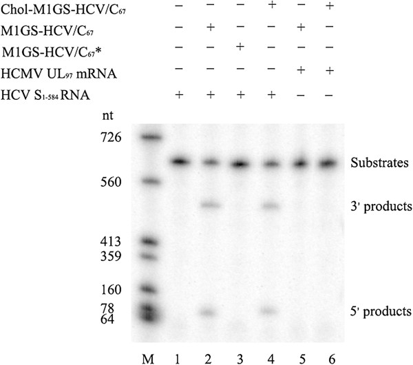 In vitro cleavage of the targeted RNA by M1GS ribozymes. No ribozyme was added to the reaction mixture in lane 1; 10 nM of M1GS-HCV/C 67 (lanes 2), M1GS-HCV/C 67 * (lanes 3) and Chol-M1GS/C 67 (lane 4) were incubated with 32 P-labeled substrate RNA (S 1–584 , 10 nM) at 37°C in a volume of 10 μl for 30 min in cleavage buffer. As a control, equal volumes of M1GS-HCV/C 67 and Chol-M1GS-HCV/C 67 were separately incubated with another 32 P-labeled substrate RNA (HCMV UL97 RNA) in the same condition (lanes 5 and 6) Cleavage products were separated on 15% polyacrylamide gels containing 8 M urea. The RNA makers were transcribed in vitro by T7 RNA polymerase with DNA templates linearized by different restriction enzymes (lane M).