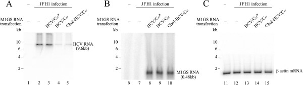 Levels of HCV RNA as determined by Northern analysis. Cells (n = 1 × 10 6 ) were either mock-infected (lanes 1, 6 and 11) or infected with JFH1 (MOI = 5) and harvested at 48 h after infection. Northern analysis was carried out with RNA isolated from Huh7.5.1 cells transfected with M1GS-HCV/C 67 * (lanes 3, 8 and 13), M1GS-HCV/C 67 (lanes 4, 9 and 14), and Chol-M1GS-HCV/C 67 (lanes 5, 10 and 15). Equal amount of each RNA sample was separated on agarose gels containing formaldehyde, transferred to a nitrocellulose membrane, and hybridized to a 32 P-radiolabeled probe containing the cDNA sequences of HCV core coding region (A) , M1 RNA gene (B) , and human β-actin gene (C) , respectively.